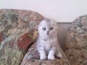 ПРОДАМ-Чудесные шотландские котята