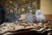 Котята вислоухие , британские