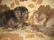 шотландские веслоухие котята хайленд фолд.