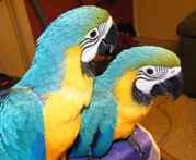 Aдома,  поднятые и зарегистрирован синих и золотых попугаи ара для прод