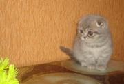 Продам, предлагаю-шотландские котята