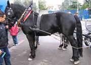 Джордж прекрасной вороной лошади фризской